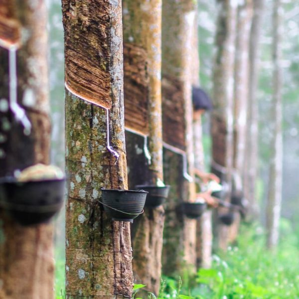 rubber-plantation